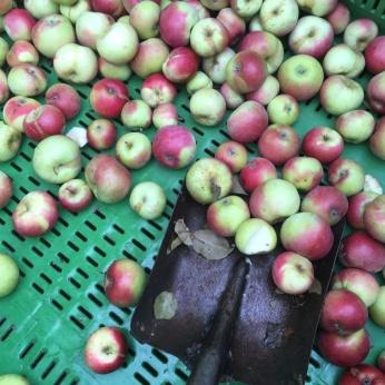 Äpple o skovel IMG_3782